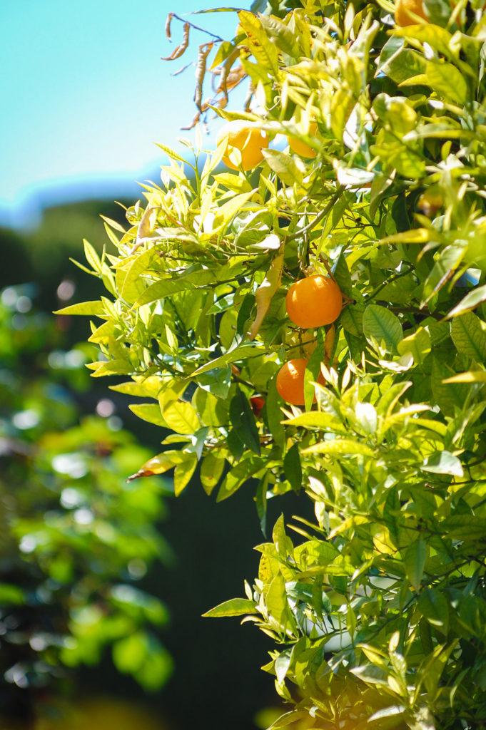 alhambra-gardens-oranges