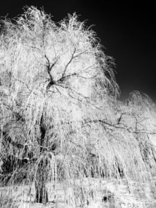 white-willow-120950489